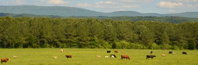 Alabama Spring View with cows and mountains