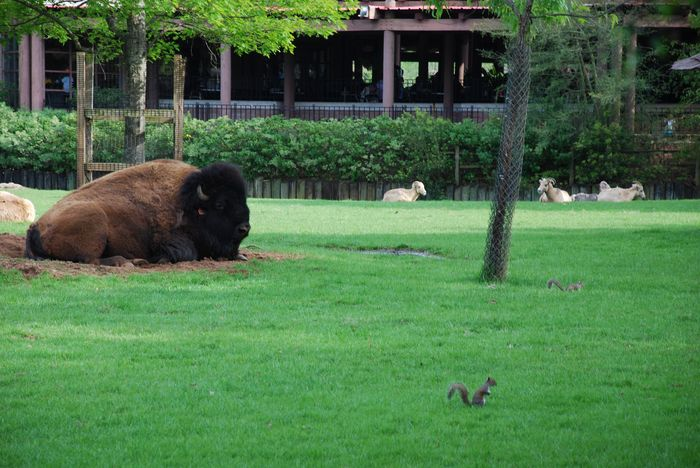 Montgomery Z00, Montgomery, Alabama- American Bison resting