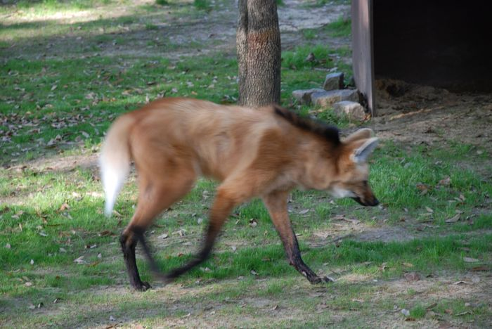 Montgomery Z00, Montgomery, Alabama- wold walking
