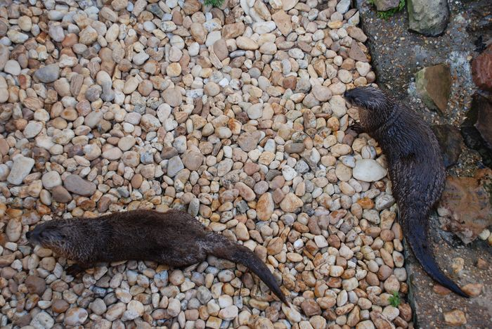 Montgomery Z00, Montgomery, Alabama- North American river otters playing