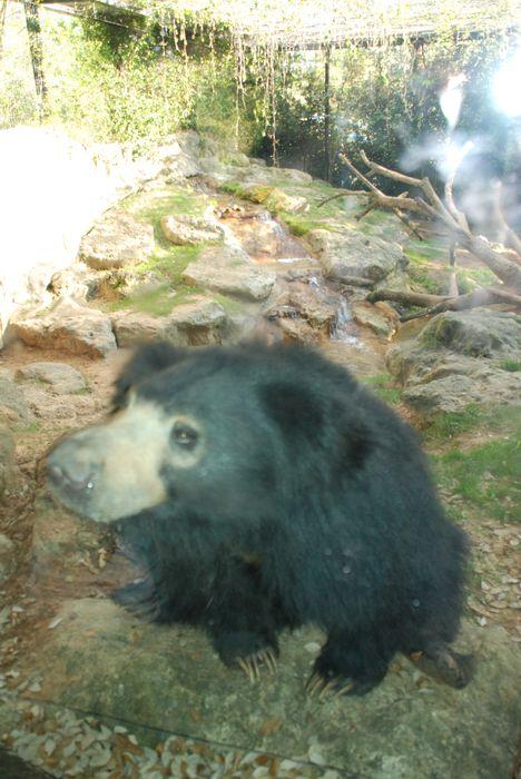 Montgomery Z00, Montgomery, Alabama-Sloth Bear