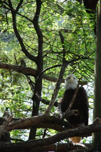 Montgomery Z00, Montgomery, Alabama- bald eagle