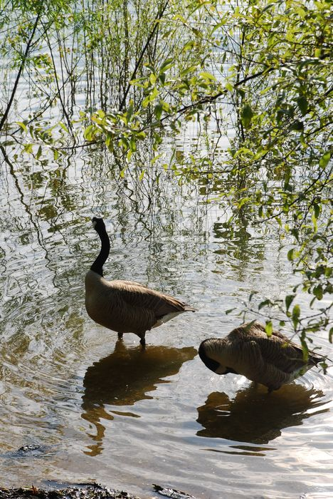 Montgomery Z00, Montgomery, Alabama- geese in the water