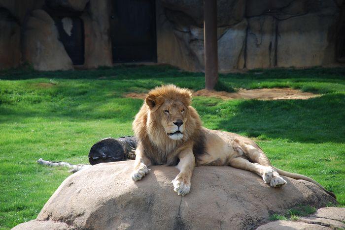 Montgomery Z00, Montgomery, Alabama- Lion on Rock