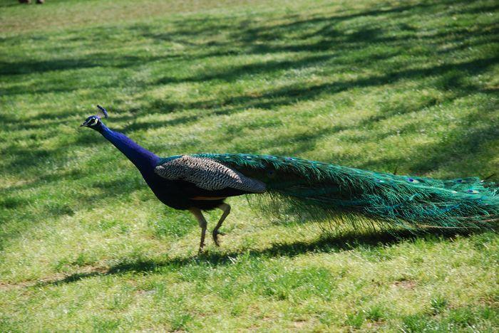 Montgomery Z00, Montgomery, Alabama- peacock