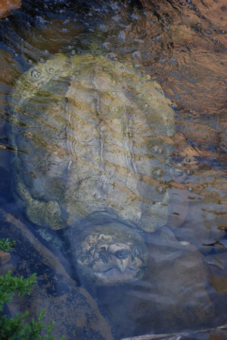 Montgomery Z00, Montgomery, Alabama- snapping turtle in the water
