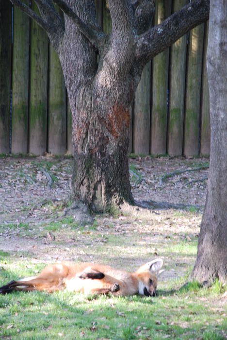 Montgomery Z00, Montgomery, Alabama- wolf resting