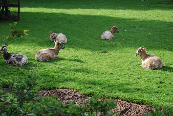 Montgomery Z00, Montgomery, Alabama- Goats