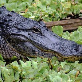 alligator Wheeler Wildelife Refuge North Alabama